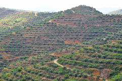 Soft focus of view from far replanting oil palm tree at the hill Stock Photo