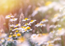 Soft focus on wheat and daisy flowers Stock Image
