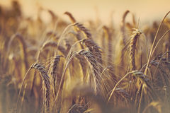 Soft focus on wheat field in late afternoon - early evening Stock Images