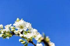 Soft focus of white cherry blossom flowers with blue sky -  Prunus, Amygdaloideae, Rosaceae. Soft focus of white cherry blossom flowers with blue sky used as Royalty Free Stock Image