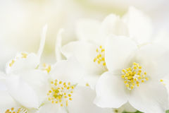 Soft focus on white jasmine flowers like greeting card Stock Images
