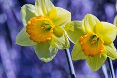 Soft focus of white wild daffodil or Lent lily flowers - Narcissus pseudonarcissus, Amaryllidoideae, Amaryllidaceae stock photo