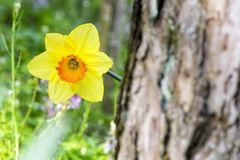 Soft focus of white wild daffodil or Lent lily flowers - Narcissus pseudonarcissus, Amaryllidoideae, Amaryllidaceae stock photos