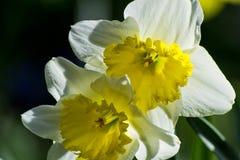 Soft focus of white wild daffodil or Lent lily flowers - Narcissus pseudonarcissus, Amaryllidoideae, Amaryllidaceae royalty free stock image