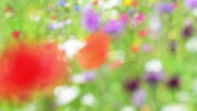 Soft focus wild poppies and daisies, gently blowing in wind on a sunny summers day stock video