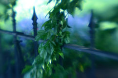 Soft focus wrought iron fence and hanging leafy branches. Soft focus vintage wrought iron fence with hanging green leafy tree branches and lavender growing in Royalty Free Stock Photography