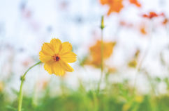 Soft focus Yellow Cosmos Flowers Background. Blur background royalty free stock image