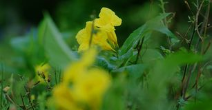 Soft Focus yellow flower, green leaf. royalty free stock photography