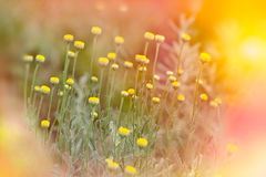 Soft focus on yellow flowers Royalty Free Stock Image