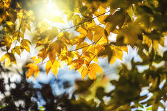 Soft focus yellow maple leaf on background Stock Images