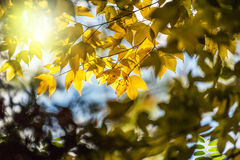 Soft focus yellow maple leaf on background. Tropical Stock Images