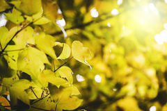 Soft focus yellow maple leaf on background. Tropical Stock Photo