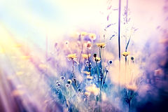 Soft focus on yellow meadow flowers, unfocused Royalty Free Stock Image