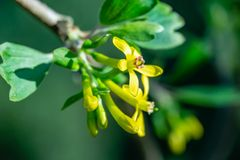 Soft focus of yellow Ribes aureum flower blooming. Flowers golden currant, clove currant, pruterberry and buffalo currant royalty free stock photos