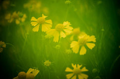 Soft Focus Yellow Wildflowers. In Monroe Georgia Royalty Free Stock Images