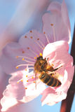 Soft focused cherry flower with bee. Spring blossom Royalty Free Stock Image