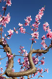 Soft focused cherry flowers, spring. Spring blossom Stock Photography