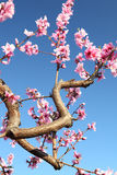 Soft focused cherry flowers, spring. Spring blossom Royalty Free Stock Photography