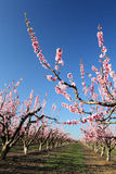 Soft focused cherry flowers, spring. Spring blossom Royalty Free Stock Images