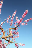 Soft focused cherry flowers, spring. Spring blossom Royalty Free Stock Photo