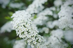 Soft focused close up picture of White Spirea, Bush of Thunbergii or Thunbergii Meadowsweet. Beautiful Floral Background. Soft focused close up picture of White Royalty Free Stock Images
