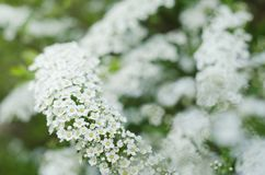 Soft focused close up picture of White Spirea, Bush of Thunbergii or Thunbergii Meadowsweet. Beautiful Floral Background. Soft focused close up picture of White Royalty Free Stock Photo