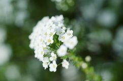Soft focused close up picture of White Spirea, Bush of Thunbergii or Thunbergii Meadowsweet. Beautiful Floral Background. Soft focused close up picture of White Royalty Free Stock Image
