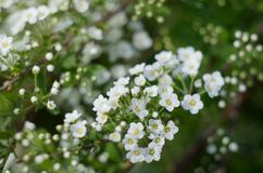 Soft focused close up picture of White Spirea, Bush of Thunbergii or Thunbergii Meadowsweet. Beautiful Floral Background. Soft focused close up picture of White Stock Photo