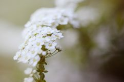 Soft focused close up picture of White Spirea, Bush of Thunbergii or Thunbergii Meadowsweet. Beautiful Floral Background. Soft focused close up picture of White Royalty Free Stock Photography