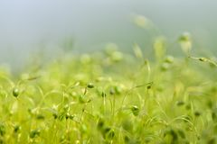 Soft focused close-up shot of green moss seeds with bokeh, blurred shining light stock photo