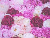 Soft-focused flowery background of multi-colored peony flowers. Stock Photos