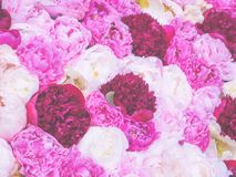 Soft-focused flowery background of multi-colored peony flowers. Stock Photo
