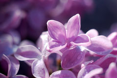 Soft focussed Lilac flowers. Spring floral background Royalty Free Stock Photo