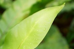 Fresh green leaf with dew drops of Bird`s nest fern, know as Crow`s nest fern, an epiphytic plant stock photography
