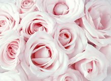 Soft full blown pink roses Royalty Free Stock Photos