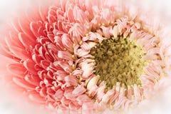 Soft Gerber Daisy Stock Image