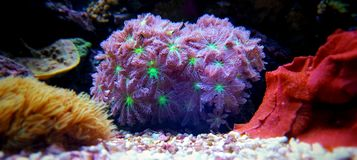 Soft Glove Polyp - Clavularia sp. The Goniopora LPS Coral is often referred to as Daisy Coral, Ball Coral, or Sunflower Coral. All of the flower references are royalty free stock photo