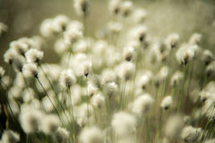 Soft grass plant background. Cotton grass or Wollgras, or Eriophorum plant near swamp royalty free stock image