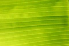 Soft green banana leaves Royalty Free Stock Photo