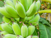 Soft green bananas and leaves. Royalty Free Stock Image
