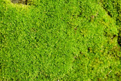 Soft Green moss close-up nature abstract background Royalty Free Stock Photo