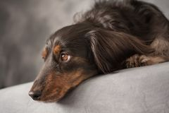 A black long-haired dachshund with soulful eyes royalty free stock images