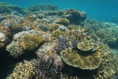 Soft and hard corals underwater reef New Caledonia. Soft and hard corals underwater on a reef in the lagoon of Grande Terre island, south Pacific ocean, New royalty free stock photo