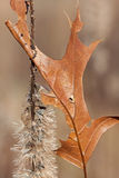 Soft Impaling. A half seeded stem of a blazing star provides a home for dried oak leaf. Partially impaled, the leaf leans against a cushion of remaining light royalty free stock image