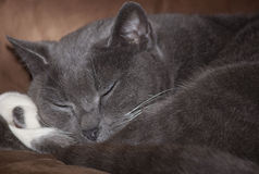 Soft kitty. Soft gray kitty sleeps on sofa royalty free stock photography