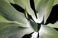 Soft Leaf Tropical Plant Royalty Free Stock Images