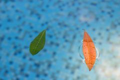 Soft light on a peaceful pool reflection showing two leaves floa. Ting in a fresh tranquil pool.  A serene shot with defocused area perfect for copyspace Royalty Free Stock Photography