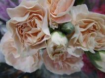 Soft light peach color rose flower bouquet on display, Canada, Fall 2018. Sentimental light peach color rose flower bouquet close up on display, 2018 royalty free stock photos