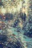 Soft light of setting sun illuminate the snow covered firs bran Stock Photo
