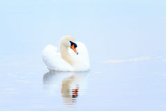 Soft light swan Royalty Free Stock Photos